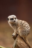 Meerkat. A curious meerkat observing its surrounding Royalty Free Stock Photography