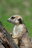 Meerkat. Cute Meerkat on a branch taking care Royalty Free Stock Photography