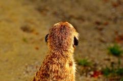 Meerkat, Cute, Curious, Animal Stock Photography