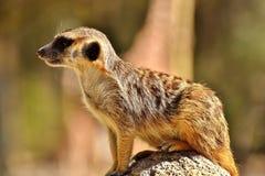 Meerkat, Cute, Curious, Animal Stock Photos