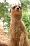 Meerkat with cute expression Royalty Free Stock Photos