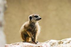 Meerkat. A cute, little suricate, meerkat Stock Photo