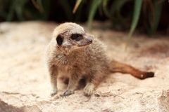 The Meerkat Royalty Free Stock Photo