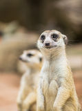 Meerkat Royalty Free Stock Image