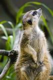 meerkat czujny obrazy stock