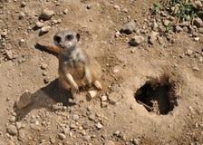 Meerkat dans le sable images stock