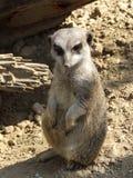 Meerkat dans le sable image stock