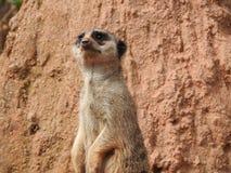 Meerkat dans le zoo images stock