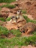 Meerkat dans le zoo photos libres de droits