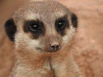 Meerkat dans le zoo photographie stock