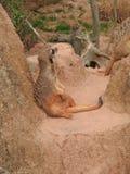 Meerkat dans le zoo photo libre de droits
