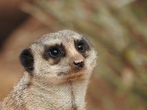 Meerkat dans le zoo photos stock