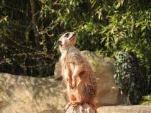 Meerkat dans le zoo photo stock