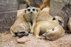 Meerkat dans le zoo Image libre de droits