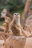 Meerkat dans le zoo Photographie stock libre de droits