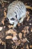 Meerkat dans le zoo images libres de droits