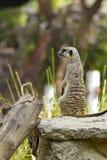 Meerkat dans le zoo de Bangkok image libre de droits