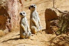 Meerkat dans un zoo photo libre de droits