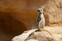 Meerkat dans un zoo images stock