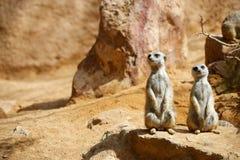 Meerkat dans un zoo image stock