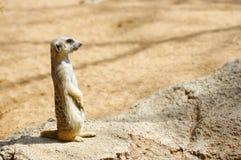 Meerkat dans un zoo photos stock