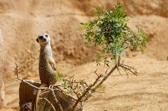 Meerkat dans un zoo photos libres de droits