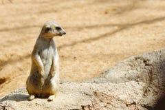 Meerkat dans un zoo images libres de droits