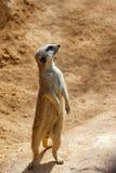 Meerkat dans un zoo photographie stock