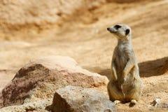 Meerkat dans un zoo photo stock