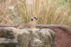 Meerkat, das auf dem Felsen und dem Ausblick in der Natur sitzt Lizenzfreie Stockfotos