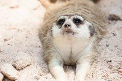 Meerkat, das auf dem Sand liegt Lizenzfreie Stockfotos