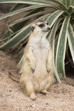 Meerkat, das auf dem Sand sitzt Stockbilder
