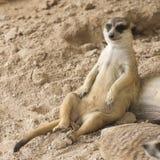 Meerkat, das auf dem Sand sitzt Lizenzfreie Stockfotografie