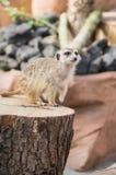 Meerkat, das auf einem Baumstamm stehenden guardin wild lebenden Tiere steht Lizenzfreies Stockfoto