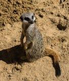 Meerkat, das auf Sand sitzt Stockfotos