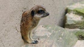 Meerkat, das aus Loch herauskommt stockfoto