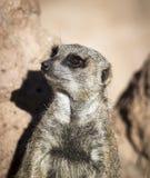 Meerkat, das an der Aufmerksamkeit bereit zur Aktion steht lizenzfreies stockbild