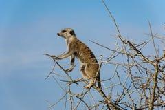 Meerkat, das in einem Baum sitzt Lizenzfreies Stockbild
