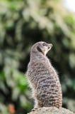 Meerkat, das heraus für Fleischfresser aufpasst Stockfotos