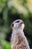 Meerkat, das heraus für Fleischfresser aufpasst Lizenzfreies Stockfoto