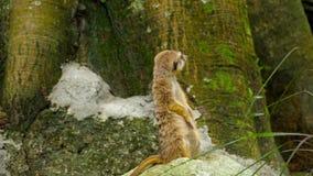 Meerkat, das heraus schaut stock footage