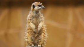 Meerkat, das heraus schaut stock video footage