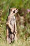 Meerkat, das herum schaut Lizenzfreie Stockfotografie