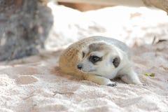 Meerkat, das im Zoo liegt Lizenzfreie Stockfotografie