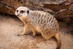Meerkat, das oben nachdem dem Graben in Sand schaut Lizenzfreie Stockfotos