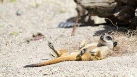 Meerkat, das sich hinlegt Lizenzfreie Stockbilder