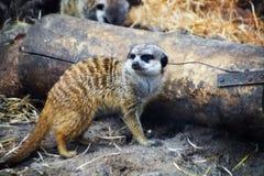 Meerkat, das um Waldfläche zum Abholzen dem Zoo betrachtet lizenzfreie stockfotos