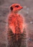 Meerkat, das unter Hitzelampe steht Lizenzfreies Stockfoto