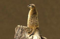 Meerkat, das V überwacht Stockbilder