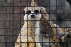Meerkat, das von hinter Gittern dem Zoo betrachtet Stockfotos